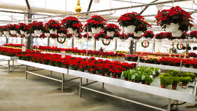 Greenhouse with poinsettas Stock Images