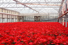 Greenhouse of Poinsettia Flowers. Greenhouse full of Poinsettia flowers for the holidays royalty free stock photography