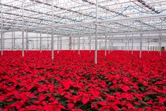Greenhouse red poinsettias. Warehouse greenhouse beautiful field of red poinsettia flowers royalty free stock image
