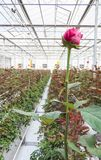 Greenhouse with rose flowers. Close-up of a rose on a blurred floral background in a greenhouse royalty free stock photos