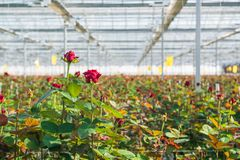 Greenhouse with rose flowers. Close-up of a rose on a blurred floral background in a greenhouse royalty free stock photo