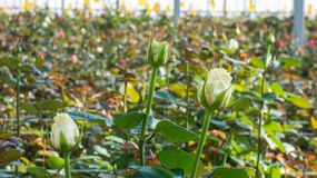 Greenhouse with rose flowers. Close-up of a rose on a blurred floral background in a greenhouse royalty free stock images