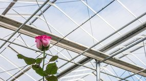 Greenhouse with rose flowers. Close-up of a red rose on the background of the glass roof of the greenhouse royalty free stock photo
