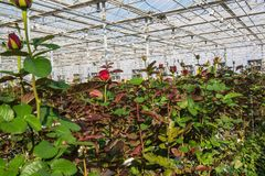 Greenhouse with rose flowers. Large industrial greenhouse with Dutch roses royalty free stock images