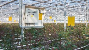Greenhouse with rose flowers. Large industrial greenhouse with Dutch roses and electric dashboard stock photos