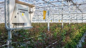 Greenhouse with rose flowers. Large industrial greenhouse with Dutch roses and electric dashboard stock photo