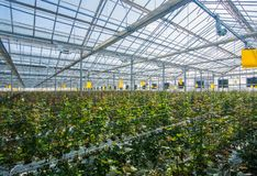 Greenhouse with rose flowers. Large industrial greenhouse with Dutch roses, the overall plan royalty free stock images
