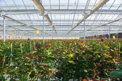 Greenhouse with rose flowers. Large industrial greenhouse with Dutch roses, the overall plan stock photography