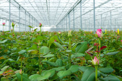 Greenhouse with roses Stock Image