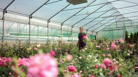 Greenhouse with roses in small business gardening. A woman is working in the background stock video