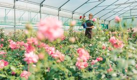 Greenhouse with roses in small business gardening. A woman is working in the background royalty free stock images