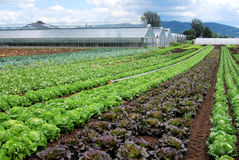 Greenhouse and salad Stock Photos