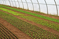 Greenhouse with seedlings Royalty Free Stock Photography