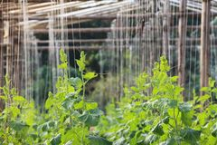 Greenhouse with simple DIY string support for cucumber, squash and melon plants royalty free stock photo