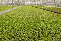 A greenhouse with small cabbage plants Royalty Free Stock Photography