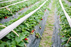 Greenhouse for strawberries. Strawberry grown in the greenhouse Stock Photo