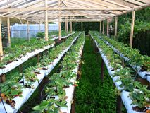 Greenhouse of strawberries in a country side. Strawberries in a green house on lifted tables Royalty Free Stock Photo