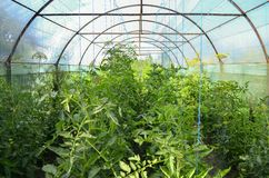 Greenhouse. While summer with crop of tomato and cucumber Royalty Free Stock Image