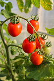 In the greenhouse tomato, agriculture. Russia Royalty Free Stock Image