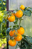 In the greenhouse tomato, agriculture. Russia Royalty Free Stock Photography