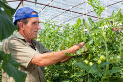 Greenhouse tomato crop. Being checked by an old bulgarian farmer Royalty Free Stock Image