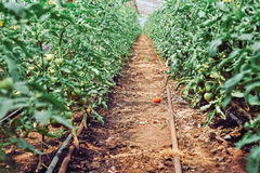 Greenhouse tomato cultur. Green leafs of tomato culture and tomato fallen on the row Stock Image