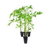 Greenhouse Tomato Plants Royalty Free Stock Image