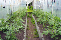 In the greenhouse tomato seedlings. In the greenhouse, seedlings of tomatoes, tied with ropes Stock Photo