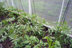 In the greenhouse tomato seedlings. In the greenhouse, seedlings of tomatoes, tied with ropes royalty free stock image