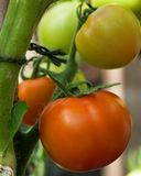 Greenhouse Tomatoes Royalty Free Stock Photography