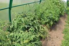 Greenhouse tomatoes Stock Photography