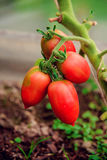 Oval tomatoes branch. Greenhouse tomatoes on the branch Stock Image