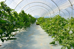 Greenhouse for tomatoes Stock Photo
