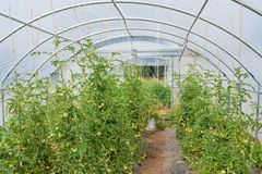 Greenhouse with tomatoes in it royalty free stock photos