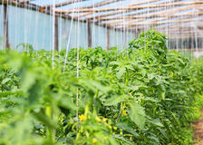Greenhouse with tomatoes Stock Photography