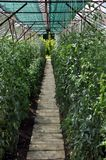 Greenhouse with tomatoes Stock Image