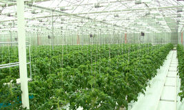 Greenhouse tomatoes. Young plant of tomatoes in greenhouse Stock Image