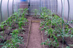 Greenhouse with tomatoes Stock Images