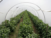 Greenhouse tunnel Stock Images