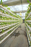 Greenhouse vegetable cultivation Stock Image