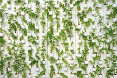 Greenhouse vegetable cultivation without soil Stock Photos