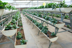 Greenhouse vegetable cultivation without soil Royalty Free Stock Image