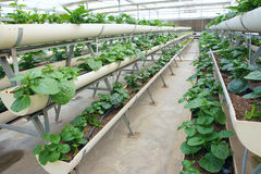 Greenhouse vegetable cultivation Royalty Free Stock Photos