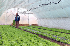 Greenhouse Vegetable Production. Organic farmer holding tray of seedlings in greenhouse Royalty Free Stock Photos