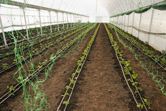 Greenhouse for vegetables - cucumbers with net Stock Image