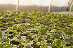 Greenhouse for vegetables - cucumbers Royalty Free Stock Photo