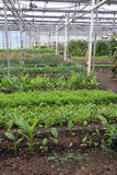 Greenhouse Vegetables Royalty Free Stock Image