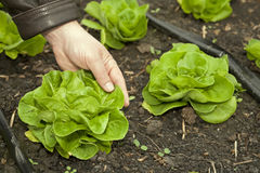 Greenhouse for vegetables - lettuce Royalty Free Stock Photo