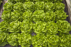 Greenhouse for vegetables - lettuce Royalty Free Stock Images