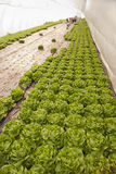 Greenhouse for vegetables - lettuce Royalty Free Stock Photos